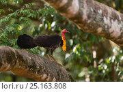 Купить «Australian brushturkey (Alectura lathami) male perched on tree branch, Queensland, Australia.», фото № 25163808, снято 18 января 2019 г. (c) Nature Picture Library / Фотобанк Лори