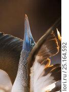 Купить «Blue-footed booby (Sula nebouxii exisa) displaying, Galapagos Islands.», фото № 25164592, снято 18 июня 2019 г. (c) Nature Picture Library / Фотобанк Лори