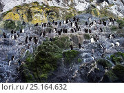 Купить «Erect-crested penguin (Eudyptes sclateri) colony, Antipodes Island, Sub-Antarctic New Zealand. Endangered species.», фото № 25164632, снято 19 января 2020 г. (c) Nature Picture Library / Фотобанк Лори