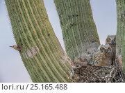 Great horned owl (Bubo virginianus) chicks nesting in Saguaro cactus (Carnegiea gigantea) and Gila woodpecker (Melanerpes uropygialis) at nest hole, Santa Catalina Mountains, Arizona, USA, May. Стоковое фото, фотограф Jack Dykinga / Nature Picture Library / Фотобанк Лори