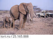 Купить «Daniel Lentipo, observing mother and calf African elephant (Loxodonta africana) driving the former research vehicle destroyed by bull elephant in Samburu...», фото № 25165888, снято 16 июля 2018 г. (c) Nature Picture Library / Фотобанк Лори