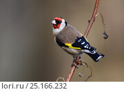 Купить «Adult Goldfinch (Carduelis carduelis) on raspberry cane. Dorset, UK December.», фото № 25166232, снято 19 марта 2019 г. (c) Nature Picture Library / Фотобанк Лори