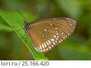 Купить «Common crow butterfly (Euploea core) captive, native to Southern Asia and Australia.», фото № 25166420, снято 16 октября 2019 г. (c) Nature Picture Library / Фотобанк Лори