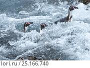 Humboldt penguin (Spheniscus humboldti) swimming through wave wash. Tilgo Island, La Serena, Chile. Vulnerable species. Стоковое фото, фотограф Tui De Roy / Nature Picture Library / Фотобанк Лори