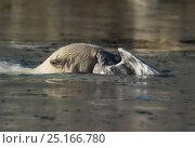Купить «Polar bear (Ursus maritimus) attacking glaucous gull (Larus hyperboreus) in water, Svalbard, Norway, August. Sequence 2/3», фото № 25166780, снято 17 августа 2018 г. (c) Nature Picture Library / Фотобанк Лори