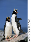 Erect-crested penguins (Eudyptes sclateri) pair. Proclamation Island, Bounty Islands, New Zealand Sub-Antarctic Islands. Endemic to Antipodes and Bounty Islands. Endangered species. Стоковое фото, фотограф Tui De Roy / Nature Picture Library / Фотобанк Лори