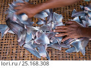 Купить «Shark fins (Squalus sp) for sale in fish market, Bali, Indonesia, August 2014.», фото № 25168308, снято 27 марта 2019 г. (c) Nature Picture Library / Фотобанк Лори