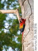 Купить «Scarlet macaw (Ara macao)  adult pair at nest hole, Costa Rica», фото № 25168516, снято 19 июля 2019 г. (c) Nature Picture Library / Фотобанк Лори