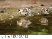 Купить «White cheeked pintail (Anas bahamensis) chicks at waters edge, Galapagos», фото № 25169192, снято 17 июля 2019 г. (c) Nature Picture Library / Фотобанк Лори