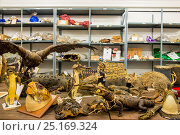 Купить «Taxidermy specimens and endangered wildlife products confiscated by the Spanish police at Adolfo Suarez Madrid-Barajas Airport in accordance with CITES...», фото № 25169324, снято 22 мая 2018 г. (c) Nature Picture Library / Фотобанк Лори