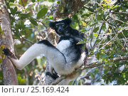 Купить «Indri (Indri indri) resting in tree, Andasibe-Mantadia National Park, Madagascar.», фото № 25169424, снято 22 сентября 2018 г. (c) Nature Picture Library / Фотобанк Лори