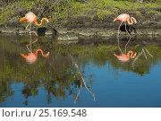 Купить «American flamingos (Phoenicopterus ruber) at edge of water, Borrero Bay, Santa Cruz Island, Galapagos, Ecuador.», фото № 25169548, снято 26 июня 2019 г. (c) Nature Picture Library / Фотобанк Лори