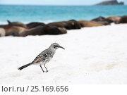 Купить «Espanola mockingbird (Mimus macdonaldi) on beach, Galapagos», фото № 25169656, снято 26 июня 2019 г. (c) Nature Picture Library / Фотобанк Лори