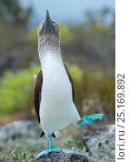 Купить «Blue-footed booby (Sula nebouxii) 'dancing' courtship display, Santa Cruz Island, Galapagos, Ecuador.», фото № 25169892, снято 17 июля 2019 г. (c) Nature Picture Library / Фотобанк Лори