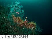 Купить «Gridled wrasse (Notolabrus cinctus) and Fiordland Black Coral (Antipathella fiordensis) in Dusky Sound, Fiordland National Park, New Zealand.», фото № 25169924, снято 10 июля 2020 г. (c) Nature Picture Library / Фотобанк Лори