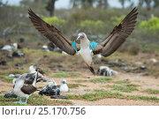 Купить «Blue-footed booby (Sula nebouxii) displaying, Santa Cruz Island, Galapagos, Ecuador.», фото № 25170756, снято 26 июня 2019 г. (c) Nature Picture Library / Фотобанк Лори