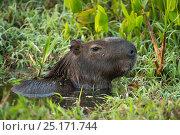 Capybara (Hydrochoerus hydrochaeris) portrait. Northern Pantanal, Mato Grosso, Brazil. Стоковое фото, фотограф Pete Oxford / Nature Picture Library / Фотобанк Лори