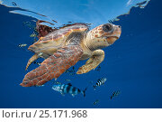 Купить «Loggerhead turtle (caretta caretta) swimming near the surface with Pilot fish. Balearic channel, Spain.», фото № 25171968, снято 19 февраля 2018 г. (c) Nature Picture Library / Фотобанк Лори