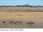 Eland (Taurotragus oryx) private game ranch. Great Karoo, South Africa. Стоковое фото, фотограф Pete Oxford / Nature Picture Library / Фотобанк Лори