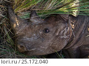 Black rhinoceros (Diceros bicornis) captured for relocation to Addo Elephant Park in Eastern Cape, Great Karoo, South Africa. Critically endangered species. Стоковое фото, фотограф Pete Oxford / Nature Picture Library / Фотобанк Лори