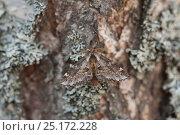 Купить «Moth (Odontosia sieversi) male, Puumala, Etela-Savo / Southern Savonia, Ita-Suomi / Eastern Finland, Finland. April», фото № 25172228, снято 18 марта 2019 г. (c) Nature Picture Library / Фотобанк Лори