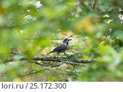 Купить «Nutcracker (Nucifraga caryocatactes) in woodland,Punkaharju, Etela-Savo / Southern Savonia, Ita-Suomi / Eastern Finland, Finland. September», фото № 25172300, снято 18 марта 2019 г. (c) Nature Picture Library / Фотобанк Лори