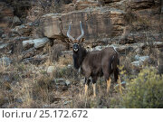 Nyala (Tragelaphus angasil) on private game ranch. Great Karoo, South Africa. Стоковое фото, фотограф Pete Oxford / Nature Picture Library / Фотобанк Лори