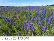 Viper's bugloss (Echium vulgare) being grown for seed by Landlife, Inglenook Farm, Rainford, Merseyside, UK, June. Стоковое фото, фотограф Ann & Steve Toon / Nature Picture Library / Фотобанк Лори