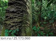 Купить «Tree termite nest (Procubitermes sp) on tree trunk. Republic of Congo (Congo-Brazzaville), Africa.», фото № 25173060, снято 21 марта 2019 г. (c) Nature Picture Library / Фотобанк Лори
