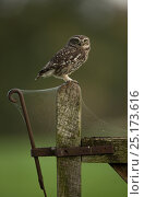 Купить «Little owl (Athene noctua) on gate post with cob webs, Worcestershire, England, UK, October.», фото № 25173616, снято 27 апреля 2018 г. (c) Nature Picture Library / Фотобанк Лори