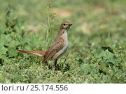 Купить «Common nightingale (Luscinia megarhynchos) Oman, April.», фото № 25174556, снято 22 мая 2019 г. (c) Nature Picture Library / Фотобанк Лори
