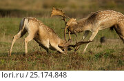 Fallow deer (Dama dama) bucks fighting, Leicestershire, UK. Стоковое фото, фотограф Paul Hobson / Nature Picture Library / Фотобанк Лори