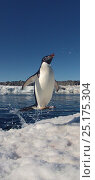 Купить «Adelie penguin (Pygoscelis adeliae) leaping out of water, Antarctica. Small reproduction only.», фото № 25175304, снято 15 августа 2018 г. (c) Nature Picture Library / Фотобанк Лори
