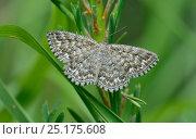 Купить «Dusky-brown wave moth (Scopula tessellaria) Le Villars near Col de la Couillole. Mercantour National Park, Provence, France. July.», фото № 25175608, снято 16 июля 2018 г. (c) Nature Picture Library / Фотобанк Лори