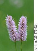 Купить «Bistort (Polygonum bistorta) near Lac du Bornon, Mercantour National Park, Provence, France, June.», фото № 25175624, снято 16 июля 2018 г. (c) Nature Picture Library / Фотобанк Лори
