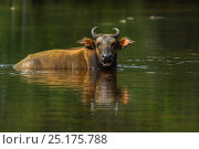 Forest buffalo (Syncerus caffer nanus) wallowing. Lango Bai, Republic of Congo (Congo-Brazzaville), Africa. Стоковое фото, фотограф Pete Oxford / Nature Picture Library / Фотобанк Лори