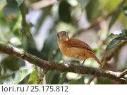 Купить «Barred antshrike (Thamnophilus doliatus) female. Tobago, West Indies.», фото № 25175812, снято 19 июля 2019 г. (c) Nature Picture Library / Фотобанк Лори