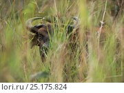 Forest buffalo (Syncerus caffer nanus) amongst vegetation. Lango Bai, Republic of Congo (Congo-Brazzaville), Africa. Стоковое фото, фотограф Pete Oxford / Nature Picture Library / Фотобанк Лори