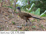 Купить «Rufous-vented chachalaca (Ortalis ruficauda) Tobago, West Indies.», фото № 25175840, снято 19 июля 2019 г. (c) Nature Picture Library / Фотобанк Лори