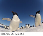 Купить «Adelie penguins (Pygoscelis adeliae) wide angle portrait of two with larger group in background, Antarctica.», фото № 25175856, снято 18 сентября 2019 г. (c) Nature Picture Library / Фотобанк Лори