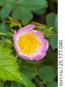 Купить «Dog Rose (Rosa canina) Brockley cemetery, Lewisham, South East London, England, UK, June», фото № 25177040, снято 20 августа 2018 г. (c) Nature Picture Library / Фотобанк Лори