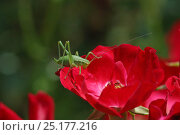 Купить «Speckled bush cricket (Leptophyes punctatissima) nymph on red rose. Surrey, England, July.», фото № 25177216, снято 17 августа 2018 г. (c) Nature Picture Library / Фотобанк Лори