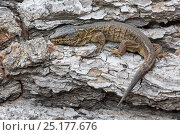 Купить «Island Night Lizard (Xantusia riversiana) Channel Islands, California, USA, May.  Endangered species.», фото № 25177676, снято 16 января 2019 г. (c) Nature Picture Library / Фотобанк Лори