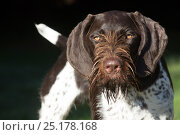Купить «German Wirehaired Pointer with wet hair around mouth, Hanover, Connecticut, USA.», фото № 25178168, снято 27 мая 2018 г. (c) Nature Picture Library / Фотобанк Лори