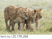 Купить «Lioness (Panthera leo) with two cubs in the rain, Masai-Mara game reserve, Kenya.», фото № 25178268, снято 24 февраля 2019 г. (c) Nature Picture Library / Фотобанк Лори
