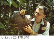Купить «Professor Edward O. Wilson breaking into a Termite (Nasutitermes sp) nest to show how quickly they can repair it, on production for a BBC Natural World...», фото № 25178340, снято 21 марта 2019 г. (c) Nature Picture Library / Фотобанк Лори