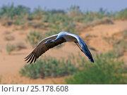 Купить «Demoiselle Crane (Anthropoides virgo) in flight over arid sand dunes, India.», фото № 25178608, снято 25 мая 2019 г. (c) Nature Picture Library / Фотобанк Лори