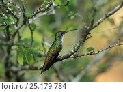 Купить «White-chested emerald (Amazilia chionopectus) perched, Trinidad and Tobago.», фото № 25179784, снято 17 июля 2019 г. (c) Nature Picture Library / Фотобанк Лори