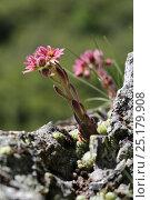 Купить «Cobweeb houseleek (Sempervivum arachnoideum) flowering. France, July.», фото № 25179908, снято 23 июля 2018 г. (c) Nature Picture Library / Фотобанк Лори