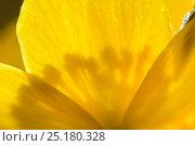 Купить «Marsh marigold / Kingcup (Caltha palustris) Vosges, France, April.», фото № 25180328, снято 23 июля 2019 г. (c) Nature Picture Library / Фотобанк Лори